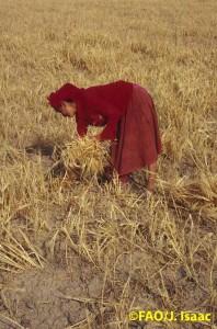Femme récoltant du blé à la main en Tunisie