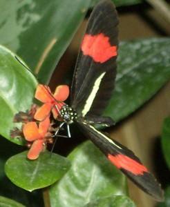 Papillon Heliconius erato