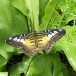 Papillon-Biodiversité