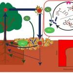 Cycle terrestre du molybdène