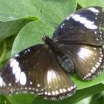 Papillon Athymia perius