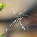 Araignée Jérémi-300p