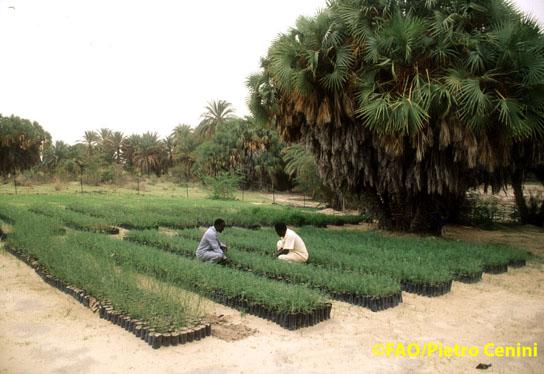 Plantation de jeunes arbres au Niger