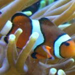 Poisson clown Amphiprion percula