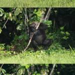 Gorille utilisant un outil